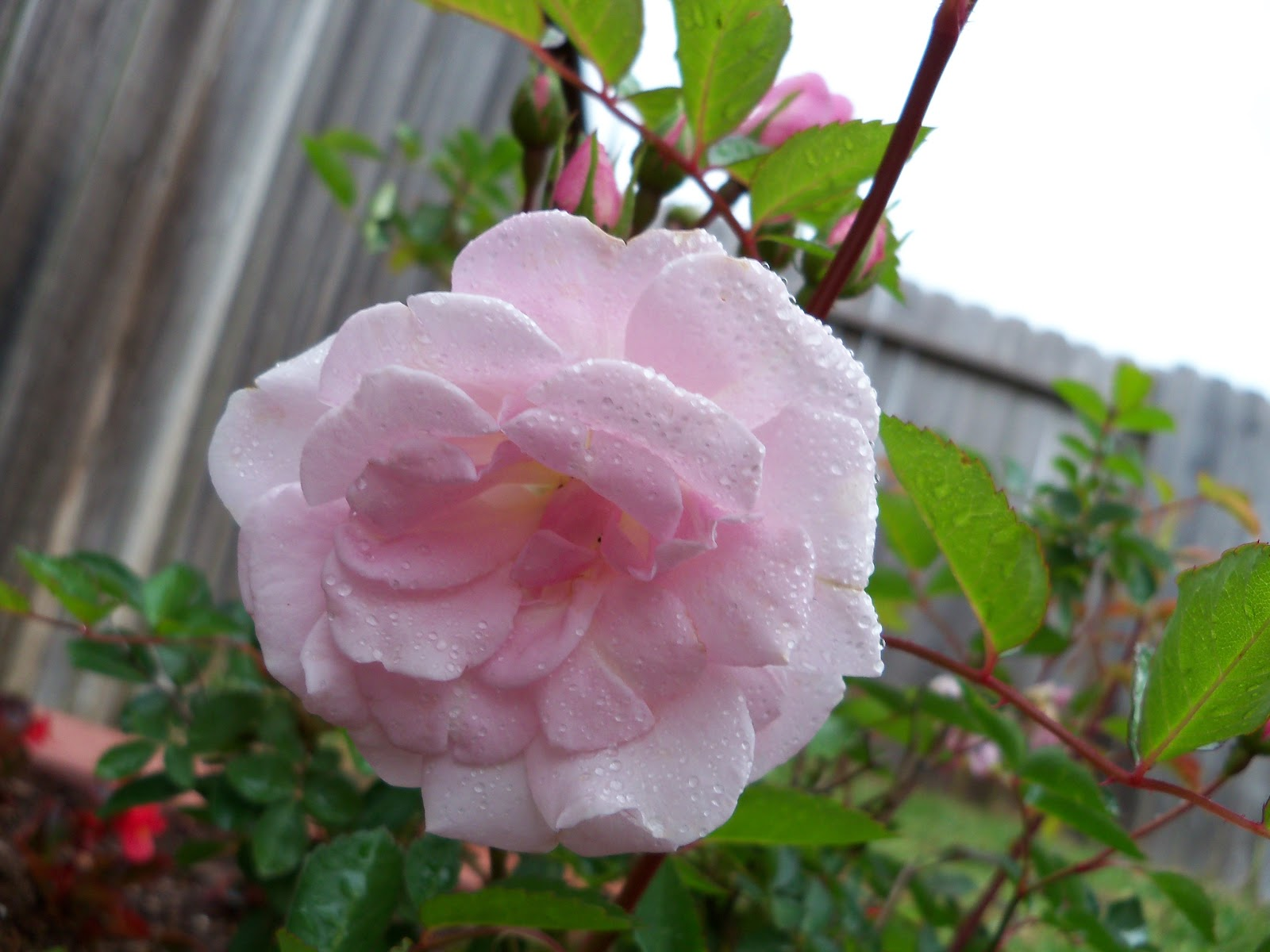 Gardening 2010 - 101_0537.JPG