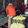 Washing the apples for storage or processing later that day into apple sauce, butter, crisp, and dried. It pays to have friends with resources!