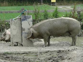 2018.07.01-044 cochon
