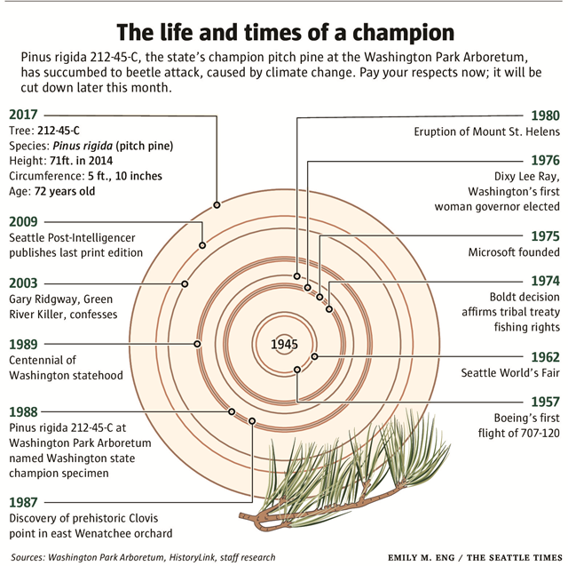 Diagram of the rings of Pinus rigida 212-45-C, the state's champion pitch pine at the Washington Park Arboretum, succumbed to climate change: steadily warming and drier summers, that stressed the tree in its position atop a droughty knoll. Red turpentine beetles, catching the scent of stress chemicals emitted by the tree as it struggled, bored in. Graphic: Emily M. Eng / The Seattle Times
