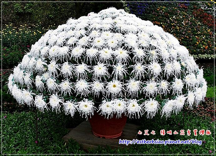 17 大立菊
