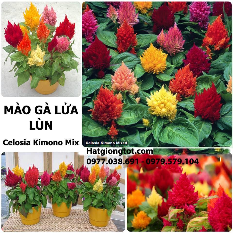 Hoa mào gà lửa mix màu