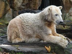 Photo: Entspannter Knut mit dem Blatt zwischen den Tatzen ;-)
