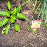 Gardening 2015 - 116_7680.JPG