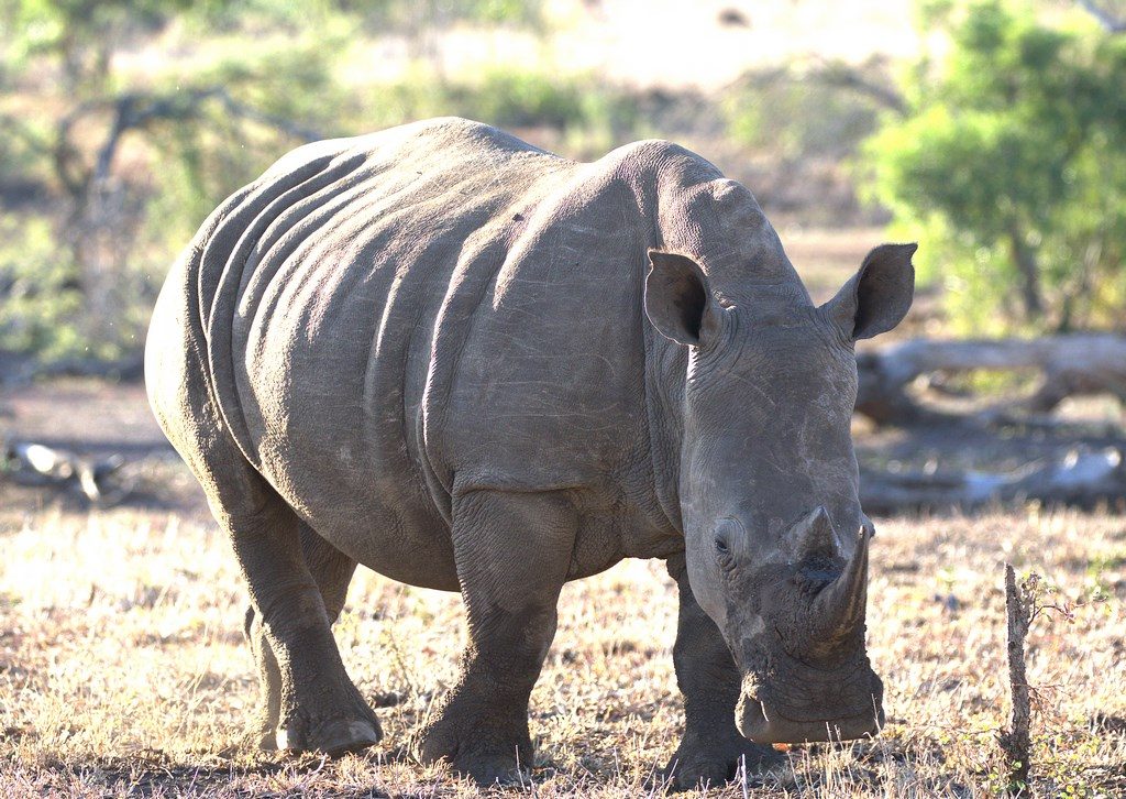 white rhino (Copy).jpg