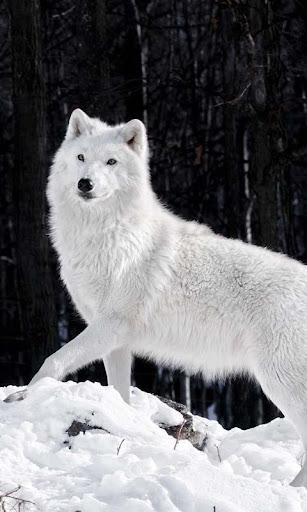 Lwp 北極オオカミ