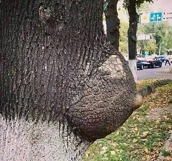 Árbol con un tronco en forma de pecho