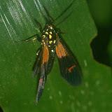 Arctiidae : Belemnia eryx FABRICIUS, 1775 ou Belemnia inaurata SULZER, 1776. Explorer's Inn, Tambopata (Madre de Dios, Pérou), 2 janvier 2011. Photo : Meena