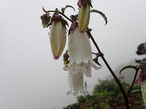 ヤマホタルブクロ(白花の変種)