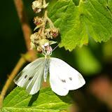 Pieris rapae, LINNAEUS, 1758, femelle. Les Hautes-Lisières, 13 juillet 2009. Photo : J.-M. Gayman