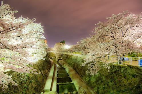 妙法寺川の夜桜。