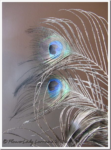 12-01-peacock-feathers
