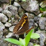 Adelpha olynthia (FELDER & FELDER, 1867). Piste de Gualchan à Chical, 1900 m (Carchi, Équateur), 22 novembre 2013. Photo : J.-M. Gayman