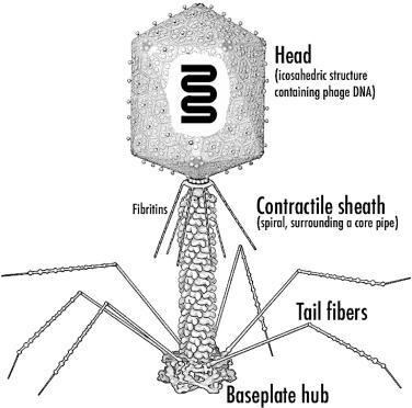 T phage