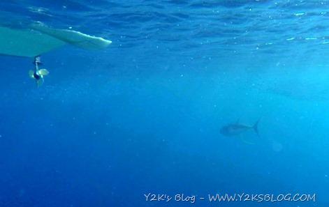 Tonno alalunga sotto al tender ! - Bonaire