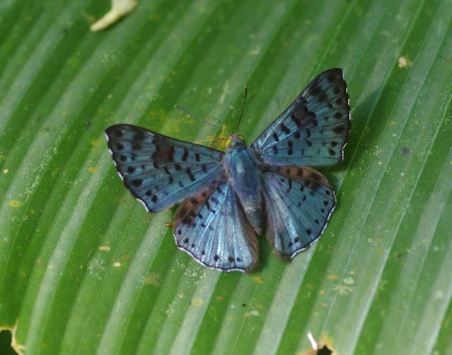 Lasaia agesilas agesilas (Latreille, [1809]). Bosque Bavaria (Villavicencio, Meta, Colombie), 9 novembre 2015. Photo : J.-M. Gayman