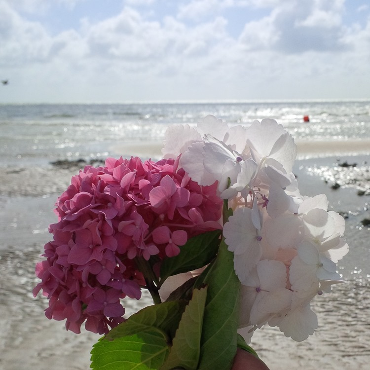 Hydrangeas at the beach