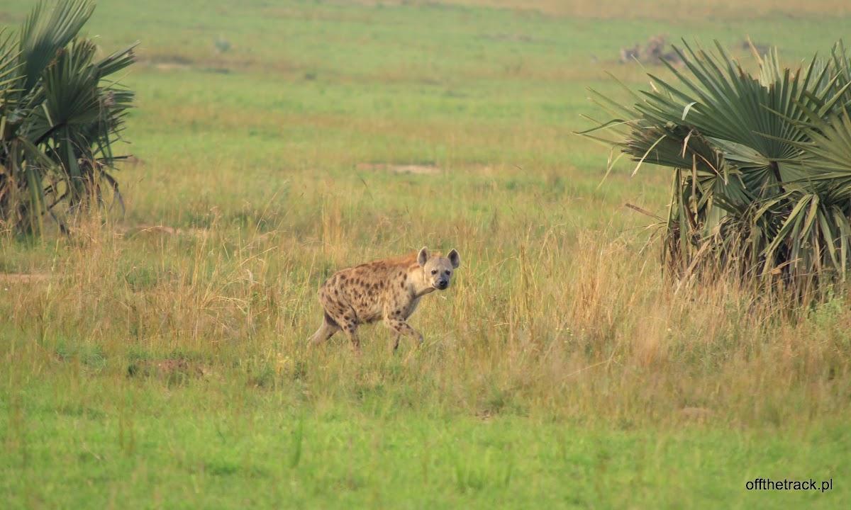 Hiena centkowana na sawannie, park narodowy Murchison Falls, Uganda