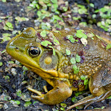 greenfrog_MG_6385-copy.jpg
