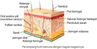 Manusia sebagai salah satu anggota kelas mamalia mempunyai lima macam indera Alat Indera, Fungsi Indera dan macam-macam alat Indera
