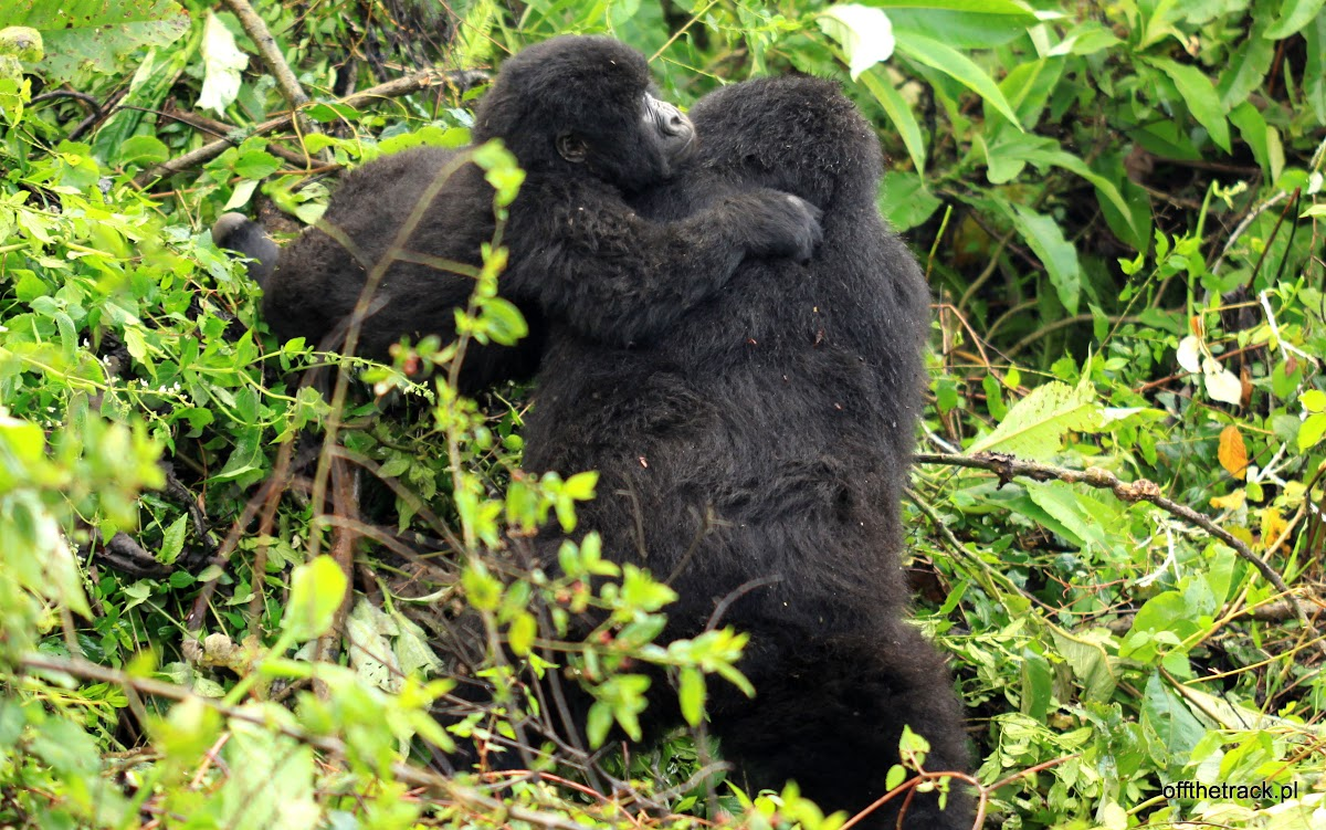 Matka z młodym gorylem, The Virunga massif region, Uganda