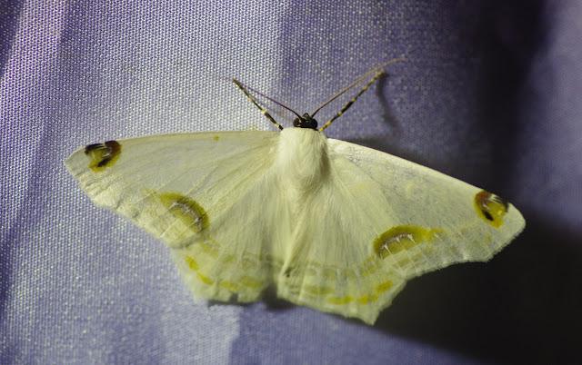 Ennominae : Sericoptera mahometaria (Herrich-Schäffer, 1853). Santa María en Boyacá, 1120 m (Boyacá, Colombie), 2 novembre 2015. Photo : J.-M. Gayman