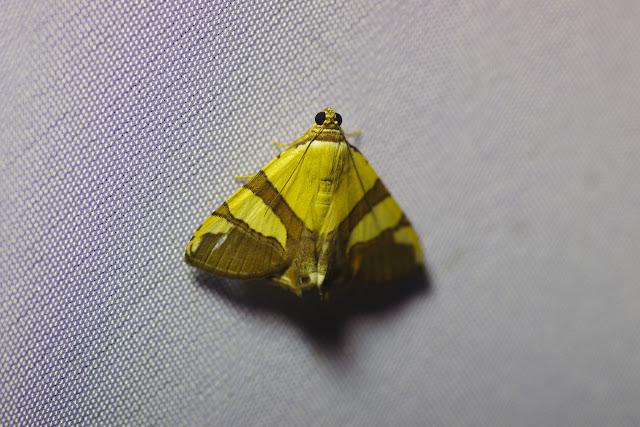 Calpinae : Eulepidotis julianata Stoll, 1787. Santa María en Boyacá, 1120 m (Boyacá, Colombie), 2 novembre 2015. Photo : J.-M. Gayman