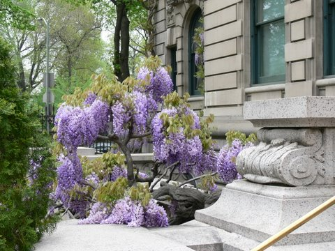 Wisteria is triumphant in spring.