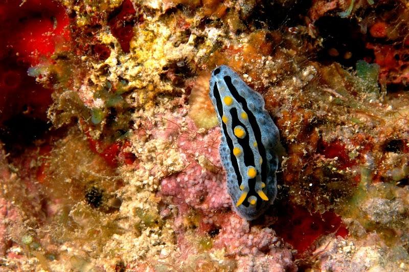 Phyllidia coelestis. Okinawa.