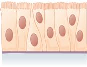 Epitel kolumnar pseudostratifikasi