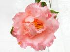 桃色 弁端濃桃色 ときに紅色吹掛け〜縦絞り 弁端波打ち 牡丹〜バラ咲き 中輪