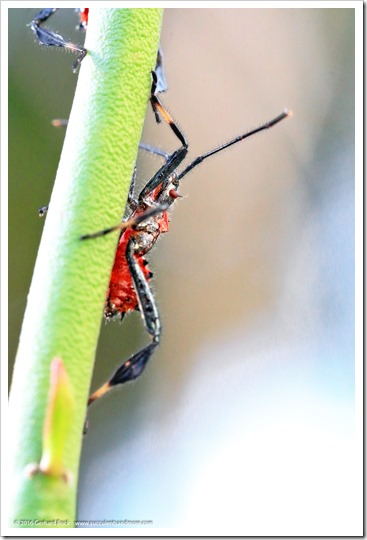 160530_Leptoglossus-phyllopus_011