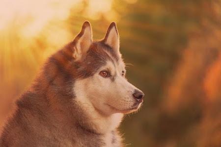 Bộ hình nền chó Husky đẹp và dễ thương dành cho desktop