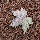 Maple-leaf-on-wet-graniteIMG_1742.jpg