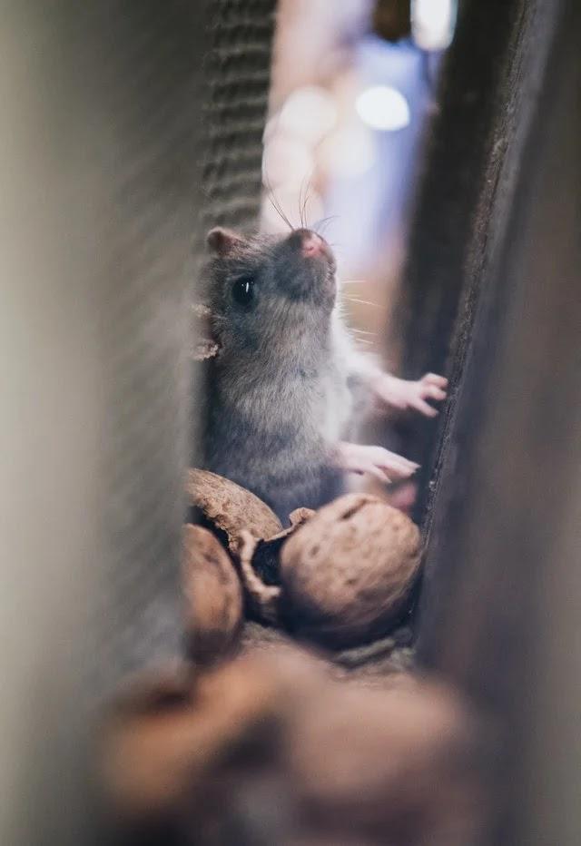 Rat hiding in a corner