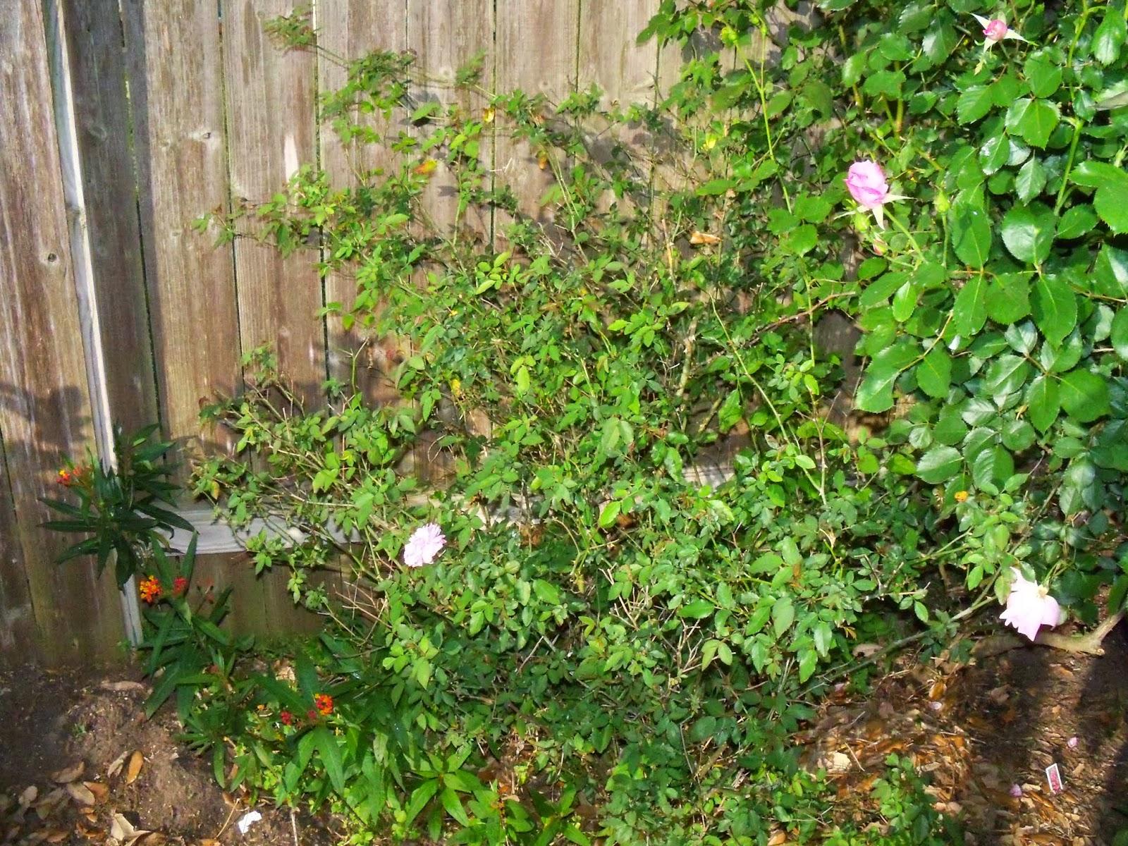 Gardening 2015 - 116_7636.JPG