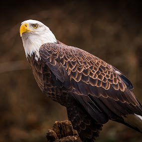 by Chris Martin - Animals Birds ( bird, birds of prey, eagle, nature, bald eagle,  )