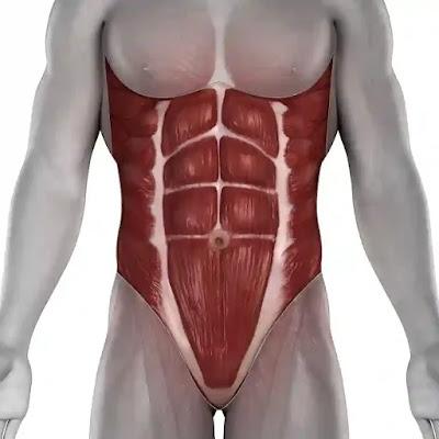 عضلات البط