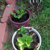 Gardening 2010, Part Two - 101_3015.JPG