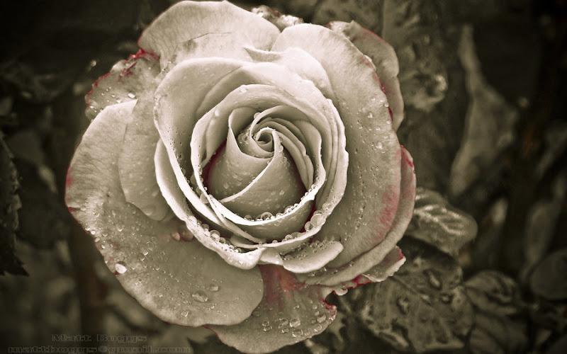 Gothic Blood Rose, Gothic Girls