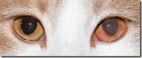 uveite gatto