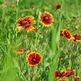 05-26-14 Texas Wildflowers - IMGP1392.JPG
