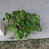 Gardening 2011 - 100_6650.JPG