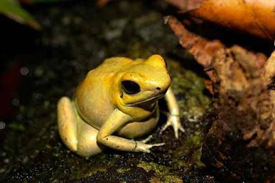 Golden Frog ! सोने की पीठ वाला मेंढक के बारे में जानकारी | Golden Frog About In Hindi