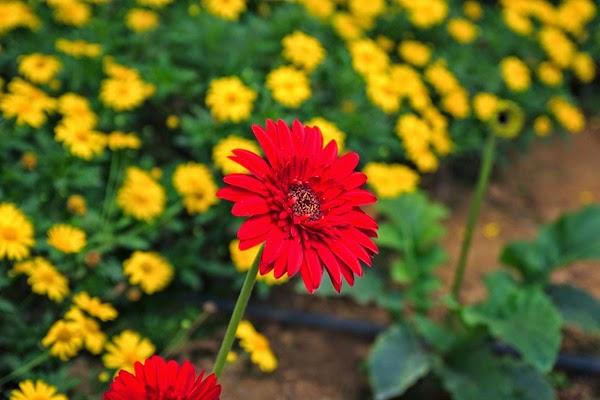 bunga daisy merah