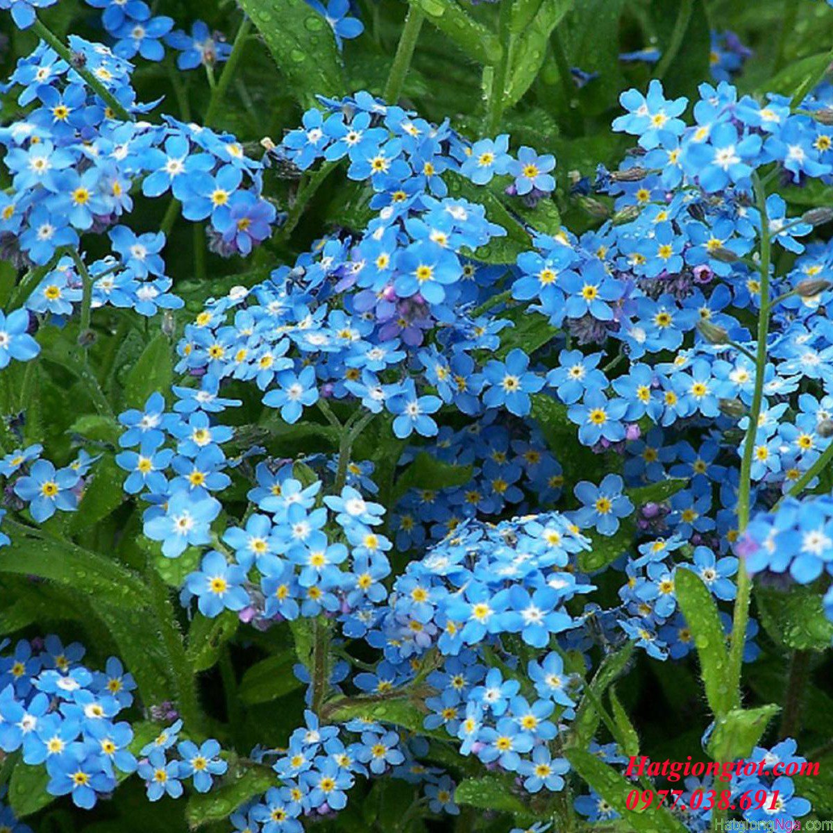 Hoa Forget me not blue