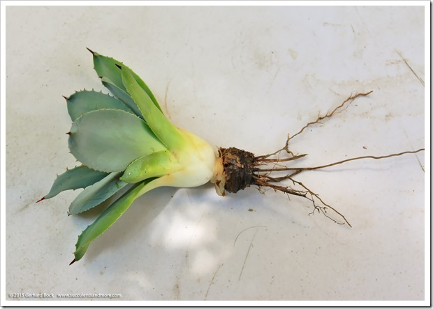 150831_Agave_parryi_JCRaulston