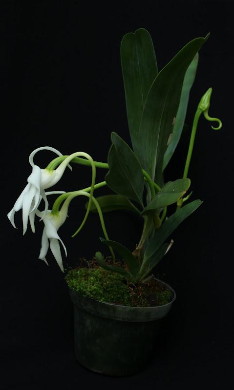 Angraecum magdalenae IMG_1952