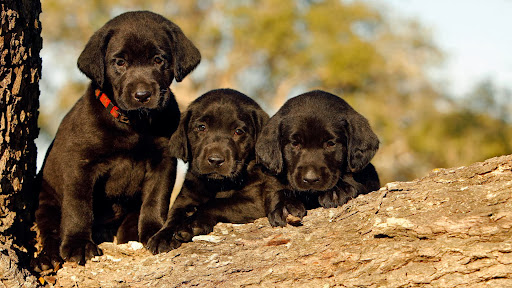 Black Labrador Retriever Puppies.jpg