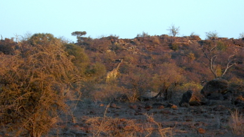 Tuli Block - Giraffe in distance